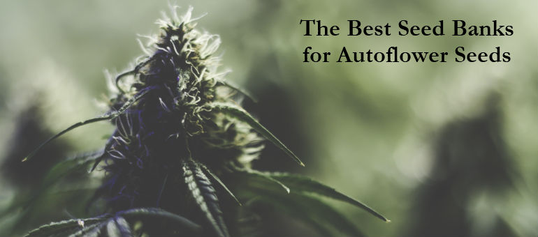 Best Cannabis Seed Banks for Autoflower Seeds