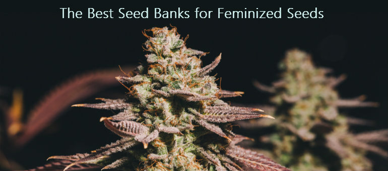 Best Seed Banks for Feminized Cannabis Seeds