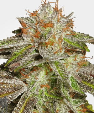 The Best and Most Popular Cannabis Seed Strains of 2019