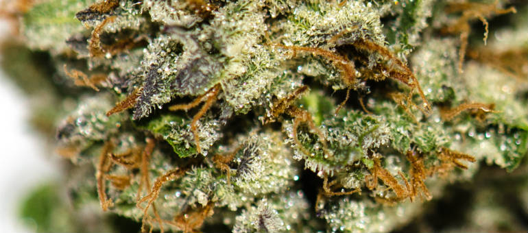 Cannatonic Close Up