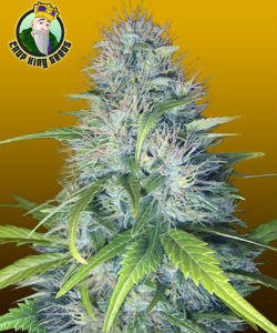 Crop King Seeds Early Miss Autoflower Feminized