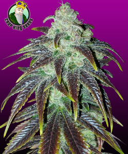 Crop Seeds King Sour Jack Feminized
