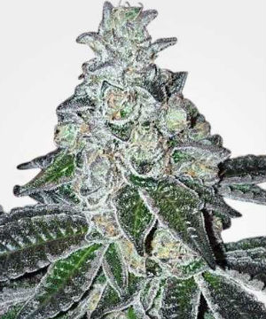 Gelato Feminized Cannabis Seeds