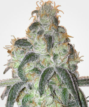 Girl Scout Cookies Feminized Weed Seeds