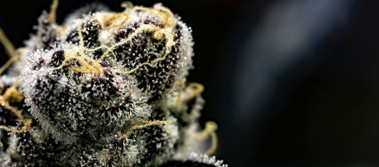 Girl Scout Cookies GCS Seeds Plant