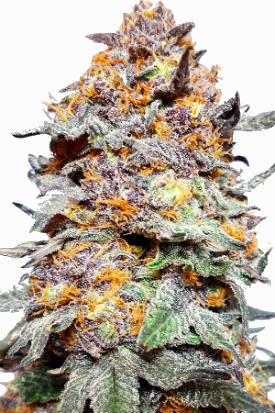 Granddaddy Purple Seeds Bud