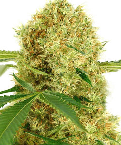 ILGM White Widow Feminized