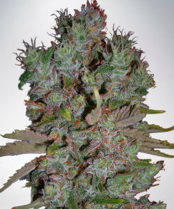 Ministry of Cannabis Blueberry Domina Autoflower Feminized Seeds