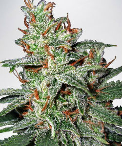 Ministry of Cannabis Carnival Feminized Seeds