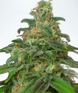 Ministry of Cannabis Mandarin Haze Autoflower Feminized Seeds