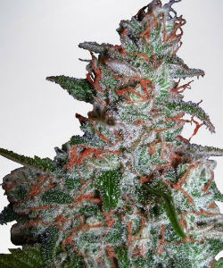 Ministry of Cannabis Northern Lights Feminized Seeds