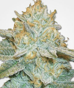 AK-47 Autoflower Feminized Seeds