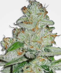 Amnesia Autoflower Feminized Seeds