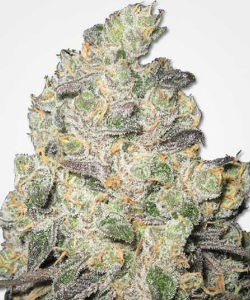 MSNL Big Blue Cheese Feminized Seeds