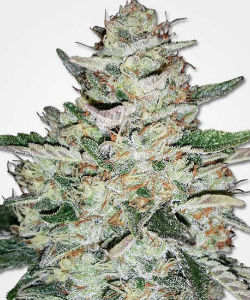 Big Bud Autoflower Feminized Seeds