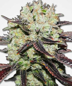 Black Domino Feminized Seeds