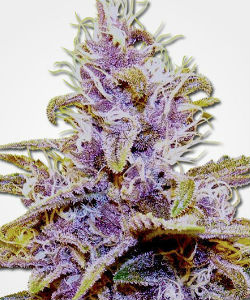 MSNL Blue Dream Autoflower Feminized Seeds