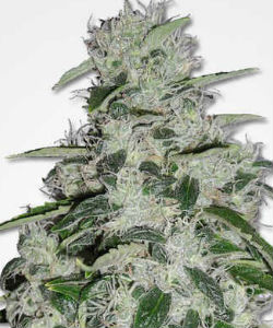 MSNL Blueberry Feminized Seeds