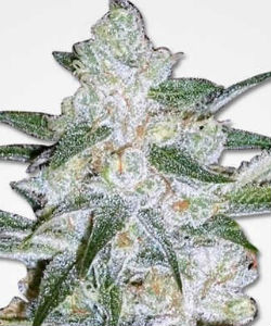 Bubblegum Feminized Seeds