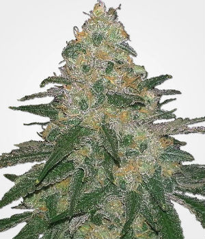 MSNL Cannatonic Feminized Seeds