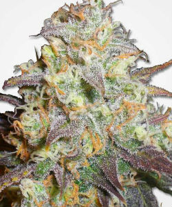 MSNL Chocolope Feminized Seeds