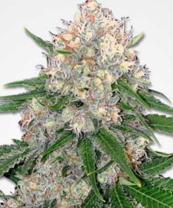 Marijuana Seeds NL Critical Feminized Seeds