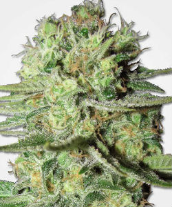 MSNL Durban Poison Feminized Seeds