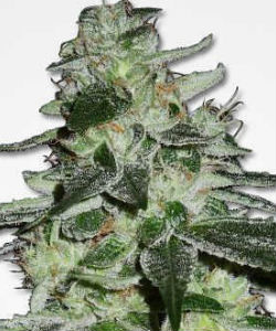 MSNL G13 Haze Feminized Seeds