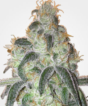 MSNL Girl Scout Cookies Feminized Seeds