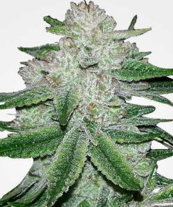 MSNL Gorilla Glue Feminized Seeds