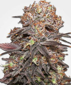 Grandaddy Purple Feminized Seeds