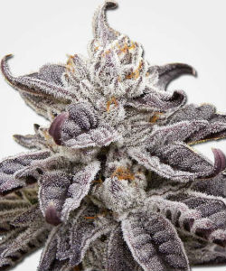 Granddaddy Purple Autoflower Feminized Seeds