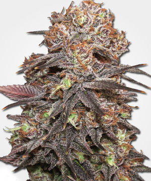 MSNL Granddaddy Purple Feminized Cannabis Seeds