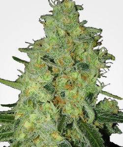 Lemon OG Autoflower Feminized Seeds
