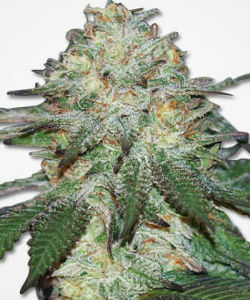 Mango Autoflower Feminized Seeds