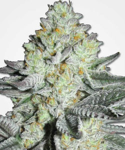 Mango Feminized Seeds