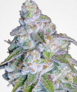 Neville's Haze Feminized Seeds
