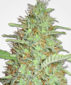 Orange Bud Feminized Seeds