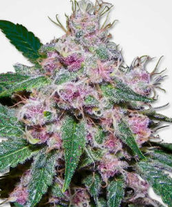 MSNL Purple Afghani Feminized Seeds