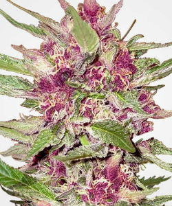 Purple Hulk Autoflower Feminized Seeds