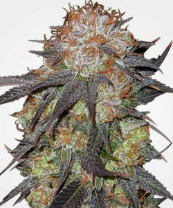 MSNL Purple Pineberry Feminized Seeds