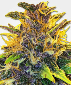 Purple Power Feminized Seeds