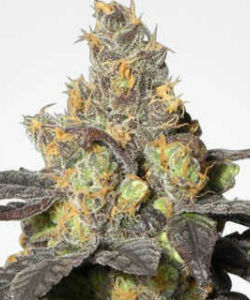 MSNL Purple Urkle Feminized Seeds