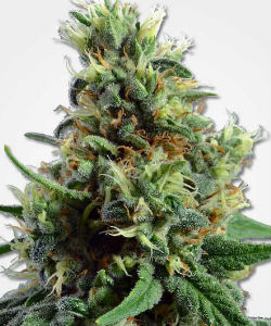 Sour Diesel Autoflower Feminized Seeds