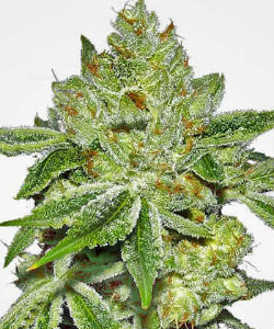 Super Lemon Diesel Feminized Seeds