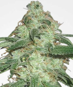 MSNL Super Silver Haze Feminized Seeds