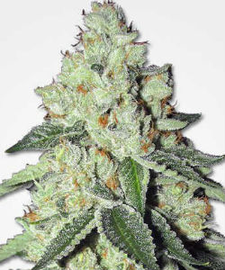 Marijuana Seeds NL THC Snow Feminized Seeds