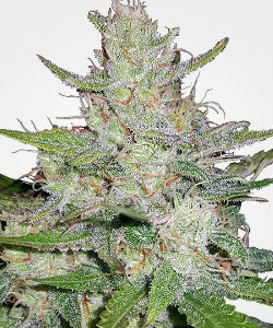 Tangerine Dream Autoflower Feminized Seeds