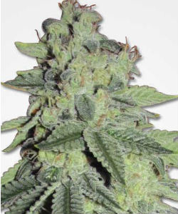 White LSD Feminized Seeds