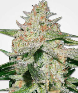 White Ruski Feminized Seeds